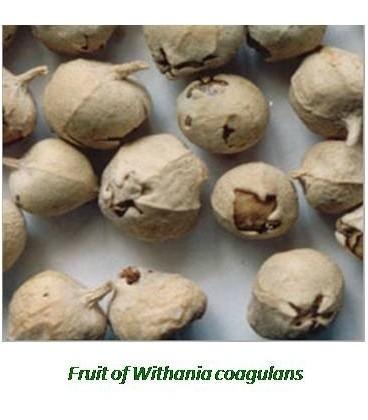 Doda paneer (paneer phool, Withania Coagulans) 100g na cukrzycę